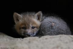Renardeau (Maxime Legare-Vezina) Tags: wild canada nature animal fauna canon spring quebec wildlife mammals printemps faune mammifere