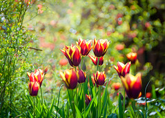 Tulips (Colin_Evans) Tags: uk red summer england flower yellow flora tulips may surrey flowerbed tulip tulipa