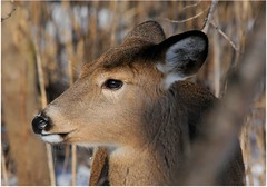 2016 White-tailed Deer 3 (DrLensCap) Tags: park winter chicago robert nature animal mammal illinois village north center il deer whitetailed