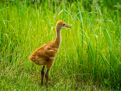 5.28.2016 Welcome to the neighborhood (Kristine Runner) Tags: sandhillcranes zz ottawalake southernkettle