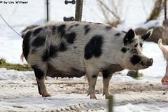 IMG_8809 (u.wittwer) Tags: park zoo schweiz switzerland tiere suisse tierpark heimat arth naturpark goldau widi