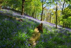 Trossachs Woodlands (J McSporran) Tags: bluebells landscape scotland woodlands trossachs 1635mm canon6d