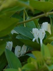 Hello (nofrills) Tags: flowers plants plant flower green floral whiteflower flora honeysuckle shrub whiteflowers japanesehoneysuckle whiteandgreen