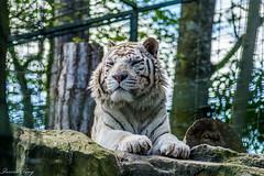 Beauval-7 (leroypierrick) Tags: france loiretcher centrevaldeloire zoodebeauval saintaignan tigreblanc