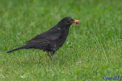 Buscando comida para los pollos. (jordi51) Tags: naturaleza nature birds nikon aves turdusmerula blackbird merla d600 mirlocomn 300f4afs tc20eiii jordi51