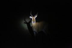 Impala 3 (cj_hunter) Tags: africa game animal animals night dark african wildlife safari ghana antelope impala nightsafari