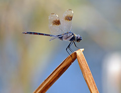 Four-Spotted Pennant (Stan in FL) Tags: nature unitedstates florida dragonflies dragonfly wildlife leesburg fl odonata fourspottedpennant venetionparkdrive
