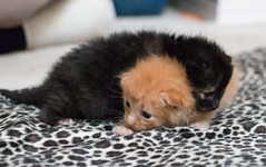 IMG_9426 (jaglazier) Tags: usa cats playing cute animals babies unitedstates tiger may indiana kittens siblings bloomington mammals blackie 2016 52416 copyright2016jamesaglazierandjamesaferguson