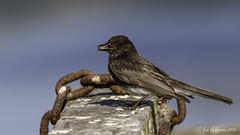Black Phoebe (Bob Gunderson) Tags: california birds northerncalifornia marincounty blackphoebe northbay sayornisnigricans flycatchers lasgallinas empidonaxflycatchers
