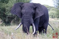 African Bush Elephants (Loxodonta africana) (DragonSpeed) Tags: africa elephant tanzania mammal safari africanelephant loxodontaafricana tarangirenationalpark africanbushelephant africanwildcatsexpeditions tzday01