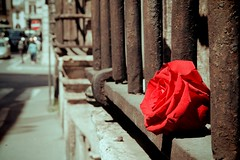 my pledge of love (TIBBA69) Tags: colors colori street strada streetphotography canon andreatiberini bokeh sfuocato rosa rose roma rome mypledgeoflove