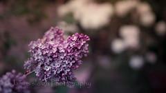Nikon d5300 (Jasrmcf) Tags: pink blur flower detail macro beautiful nikon purple bokeh smooth 40mm nikkor nikonmacro bokehlicious d5300