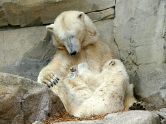 another baby was fed  (BrigitteE1) Tags: baby white cute love germany mom geotagged deutschland europe flickr sweet polarbear serene lili bremerhaven valeska eisbr ss specanimal polarbearcub anotherbabywasfed