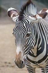 Portrait of a rather young zebra (Tambako the Jaguar) Tags: zebra equine young portrait semiprofile close mulhouse zoo france alsace nikon d4