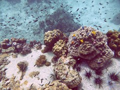 Koh Tao (Scuba Diving), Thailand (Jan-2016) 14-071 (MistyTree Adventures) Tags: ocean sea fish water coral thailand twins marine asia seasia underwater outdoor diving scubadiving kohtao gulfofthailand panasoniclumix