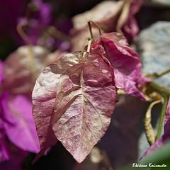 Botanical Garden Diomedes (Eleanna Kounoupa) Tags: flowers plants nature garden spring purple athens greece attica