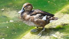 DSC08647_DxO (Franck Zumella) Tags: reflection bird water rouge duck eau teal bec reflexion oiseau canard brun mottled redbilled