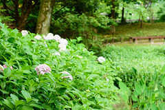 21Yamada Pond Park (anglo10) Tags: flower japan