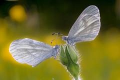 Weisslinge (klaus72) Tags: macro butterfly sony tamron90mm28 a6000 weissling tintenfleckweissling sonya6000