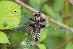 Over-mature Female broad bodied chaser (sinky 911) Tags: overmature female broad bodied chaser dragonfly widlife nature