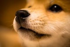 Yotsuba365 Day10 (Tetsuo41) Tags: dog shibainu yotsuba