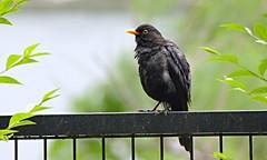 I'm staring at you (Kiara Clarecita) Tags: bird primavera garden spring jardin jardim chiara garten printemps oiseau giardino merlo 2016 tamburini challengegamewinner clarecita