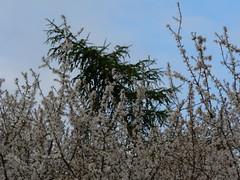 treetops and sky - bend or break (achatphoenix) Tags: home treetops sky ostfriesland garden clouds ciel cielo nuages spring springtime bendorbreak