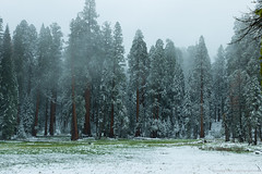 Sequoia NP. (photographME.de - Creation Testified.) Tags: sequoia national park trees winter snow fog