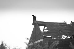 The Wait (gerrypocha) Tags: bird abandoned june raptor prairie vulture saskatchewan derelict