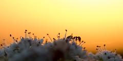 Through the Forest (shaftina©tion) Tags: sunset shadow orange black beautiful silhouette backlight dark insect golden evening purple sundown ant small rays backlit outline shape lastlight arthropod uplifting longshadows umbellifer umbelliferae apiaceae formicidae apium rimlighting rimlit paulfarnfieldcom