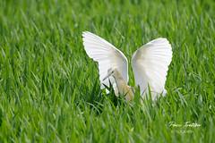 (Paco Tortosa) Tags: parquenaturaldelaalbufera aves albufera garcillacangrejera oroval ardeolaralloides arrozal marjal