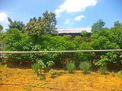 DSC02921 (Niki_Ta_1998) Tags: nature village lemongrass summers manipur northeastindia chakpikarong charongching