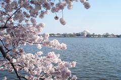 Tidal Basin 2012 (such pretty things) Tags: pink flowers cherry dc washington aqua picnic blossoms basin tidal 2012
