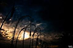 tonight's sunset (Teo Morabito) Tags: sunset bali dark golden penjor teomorabito