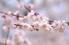 plum blossoms (snowshoe hare*(slow)) Tags: flowers nature spring kyoto 京都 梅 plumblossoms japaneseapricot ウメ kitanotenmangushrine prunusmume dsc6775 北野天満宮梅苑