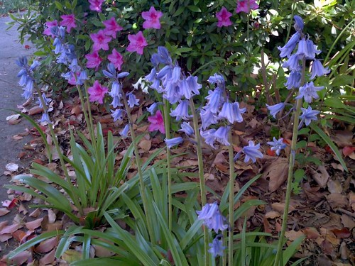 bluebells and azalea