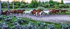 ranch horses on the move (Marvin Bredel) Tags: wyoming jacksonhole grandtetonnationalpark marvinbredel
