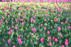 Like in the Netherlands (roomman) Tags: flowers roses flower colour green field rose germany colours tulips bank exhibition valley tulip fields colourful rhine rheinland banks pfalz rlp koblenz 2012 mosel rheinlandpfalz buga bundesgartenschau moseltal untermosel