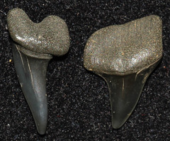 Xiphodolamia Ensis (Fossiltoothpic) Tags: macro animal animals canon tooth fossil shark teeth paleontology prehistoric extinct fossils eocene mako sharkteeth sharktooth 100mmmacro xipho mackerelshark canoneos7d fossilsharktooth fossiltooth fossilteeth xiphodolamiaensis