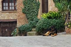 Plácido guardián (SantiMB.Photos) Tags: street door españa dog window geotagged ventana calle puerta ivy perro mura tamron 18200 esp hiedra bages cataluna fujiprovia100f adaptativecontrast geo:lat=4169960870 geo:lon=197612286