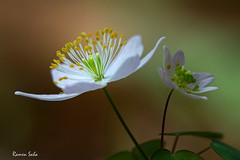 Rue Anemone; Earth Day Sentiments (Ramen Saha) Tags: flower whiteflower wildflower ranunculaceae earthday rueanemone thalictrumthalictroides earlyspringwildflower ramensaha