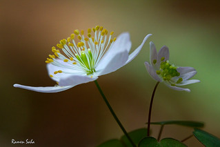 Rue Anemone; Earth Day Sentiments