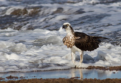 Eastern Osprey (Immature or Female) (petefeats) Tags: nature birds australia queensland caloundra accipitridae accipitriformes easternosprey pandioncristatus