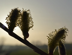 osier (conall..) Tags: macro silhouette evening march spring willow lane countydown salix raynox osier viminalis raynoxdcr250 salixviminalis tullynacree tullyunacree