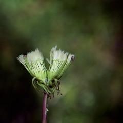 April 13th.  Split (lolaluvsme) Tags: bipolar wishingflower lolaandiweredissectingittoseewherethewishingflowercomesoutofthedandy trilevelhomes