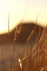 Goldene Zeiten (Jörgenshaus) Tags: strand vintage spring bokeh urlaub natur ameland makro frühling niederlande frische vertikal wachstum ballum blende14 altelinse asashisupertakumar50mm114