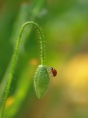 Jeu de balançoire ***-*+°°°-° (Titole) Tags: macro bokeh poppy ladybird ladybug bud coccinelle challengeyouwinner 15challengeswinner unanimouswinner friendlychallenges ultrahero thechallengefactory storybookttwwinner titole favescontestoverthetop nicolefaton winnerschallenge