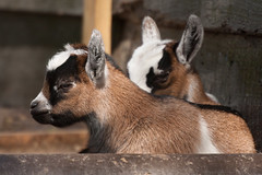 Baby Goats (unluckypixie) Tags: baby brown cute kids zoo kid furry goat paradisewildlifepark