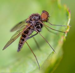 IMG_0053 Snipe Fly (Chrysopilus cristatus) male, Shadowbrook Meadows, Warwickshire W T Reserve 25 June 12, (Lathers) Tags: warwickshire snipefly chrysopiluscristatus canon7d warwickshirewildlifetrust canonef100f28lisusm wkwt 25june12 shadowbrookmeadows