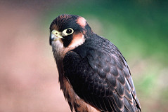 Taita Falcon Portrait (phenneberg) Tags: africa bird hawk raptor predator ornithology birdofprey falconry portriait captivebreeding taitafalcon